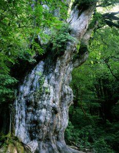 東京仏壇のさかた 屋久島の屋久杉